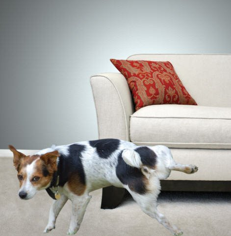 dog urinating on couch